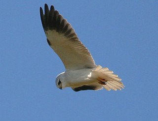 Black-shouldered Kite Elanus caeruleus - its Portu...